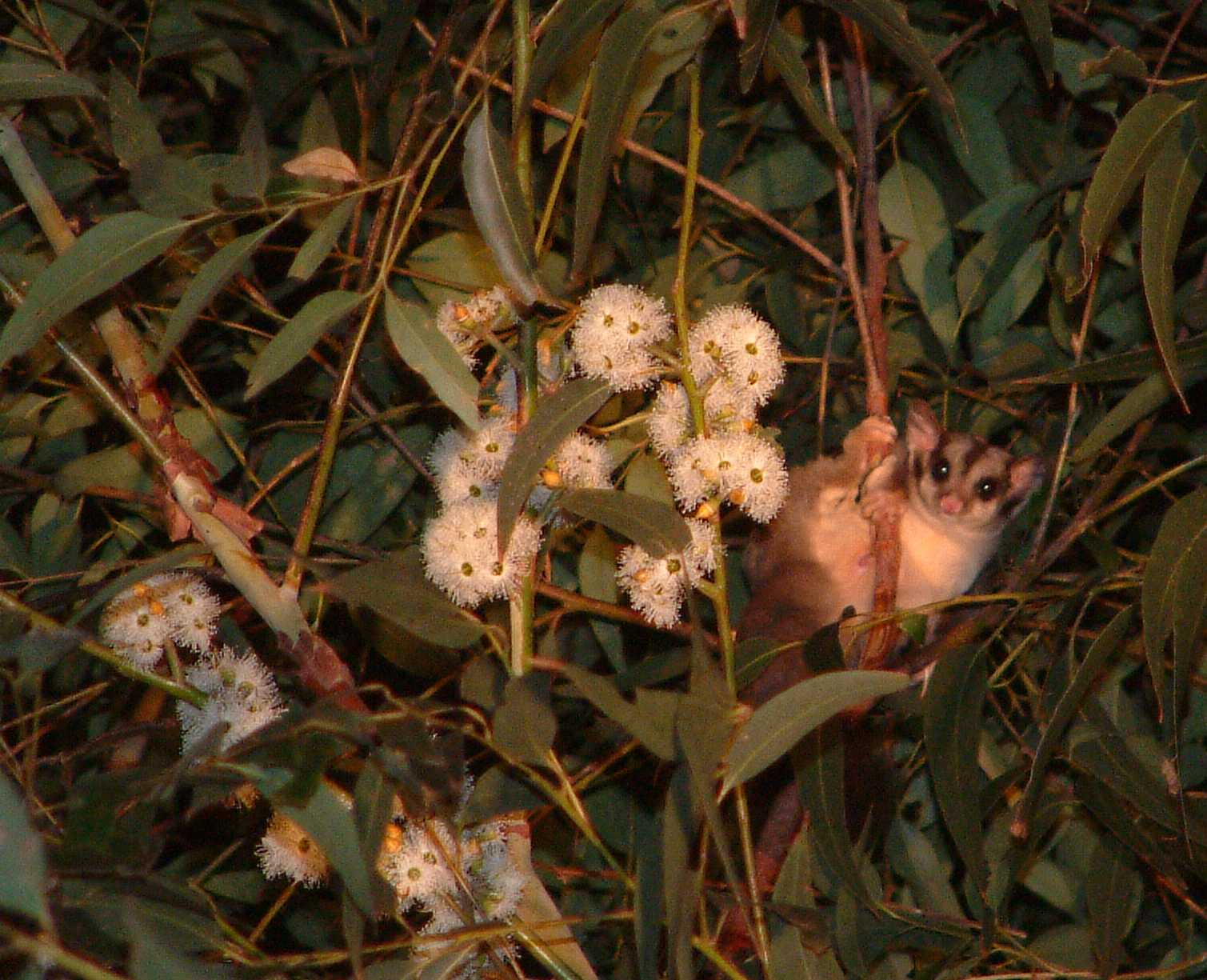 Wildlife In Commercial Eucalyptus Plantations In NSW