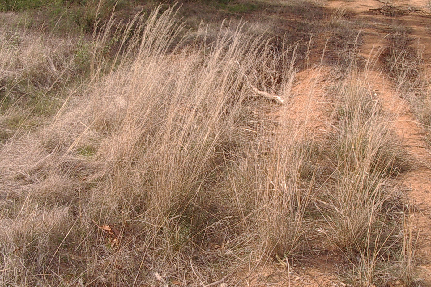 Australian Native Grasses Images