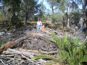 A created coarse woody debris pile within a canopy gap, ready for the prescribed burn