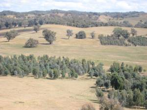 Stands of trees and shrubs established at Woomargama station, Holbrook.