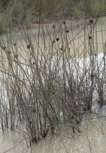 Chorizandra enodis