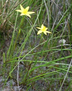 Hypoxis occidentalis