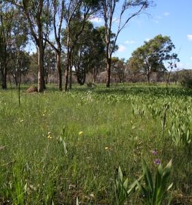Watsonia invading  a seasonal clay-based wetland