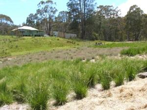 Yarrangobilly grasses ready for harvesting