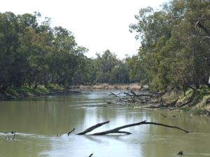 Figure 1. A healthy stretch of the Murrumbidgee with plenty of habitat for native fish (Photo courtesy of Jamin Forbes)