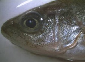 Figure 1. A calcien marked fish head under natural light. Photo courtesy of Arthur Rylah Institute.
