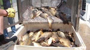 Carp being harvested from a Carp cage. (Photo by Ivor Stuart)