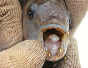 Figure 1. Female Mozambique Tilapia carrying juveniles in her mouth (Photo courtesy of QLD DAFF)