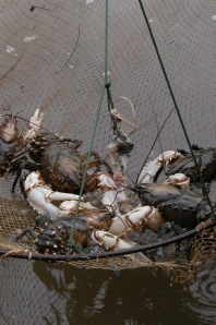 Murray Crayfish are highly valued by recreational fishers, (Photo courtesy of Jamin Forbes)
