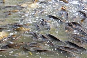 Carp can reach quite high abundance below barriers to migration such as dams and weirs.  (Photocourtesy of Leigh Thwaites, SARDI.)