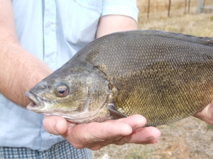 Figure 1 - Silver Perch was identified as a species for which a population model could be developed, and would be valuable. (Photo courtesy of Jamin Forbes)
