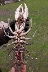 As a slow growing, late maturing, long-lived species, Murray Crayfish are susceptible to overharvest. (Photo courtesy of Jamin Forbes)