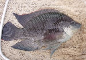 Figure 2. male Mozambique Tilapia (Photo courtesy of QLD DAFF)