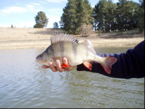 Figure 2 The focus species for this study, Redfin Perch (Photo courtesy of Dean Gilligan)