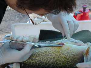 A small Murray Cod receiving internal sutures after implantation of radio transmitte. (Photo courtesy Arthur Rylah Institute)