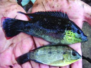 Figure 3. Stunted Tilapia (male top, female bottom) mature at only a few centimetres in length, (Photo courtesy of QLD DAFF)
