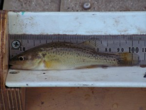 Young-of-year Trout Cod  (Photo courtesy Alison King)