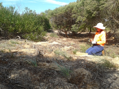 Figure 6. Spinifex being transplanted into a section of dune at 2-4-plants per m2. (Photo: Ecohort)