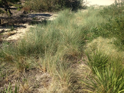 Figure 7. Section of spinifex that has established from previous transplanting. (Photo: Ecohort)