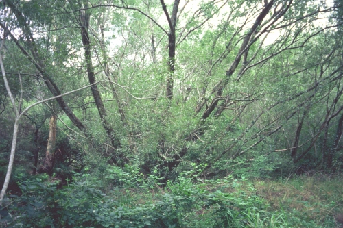 Fig 1. Feb 2005 - the creek bank, dominated by weeds prior to work.