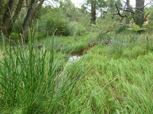 Figure 4: Raised water table enabled wetland sedges (Carex gaudichaudiana and Eleocharis sphacolata) to displace Creeping Buttercup (Ranunculus repens).