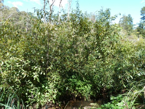 Figure 6: Dense plantings of Black Wattle (Calicoma serratifolia) and Gahnia (Gahnia sieberiana) protect creek banks from erosion.