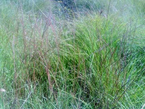 Fig 5. Hemarthria uncinata was more evident after fire. (Duesburys Beach headland.)