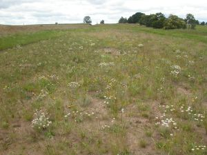 Fig 2. Restored herb-rich grassland on roadside near Wickliffe.