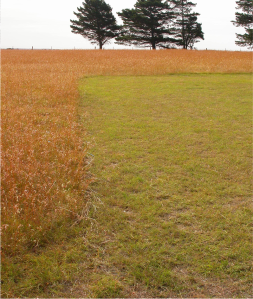 Fig 3. Differential management of Kangaroo Grass at Rokewood Cemetery.