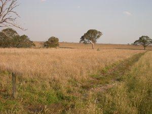 Fig 4. Wallaby grass dominated grassland at Chatsworth pre-baling.
