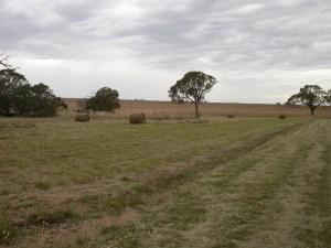 Fig 5. Wallaby grass dominated grassland at Chatsworth post-baling.