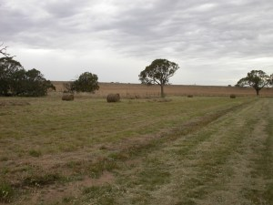 Fig 5. Wallaby grass dominated grassland at Chatsworth post-baling.