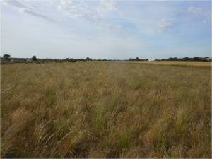 Fig 8. Species and functionally diverse restored grassland adjoining a wheat crop near Geelong.