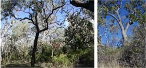 Fig 4. Fire-sensitive semi-evergreen vine-thicket extending into Mountain Coolibah (Eucalyptus orgadophila) woodland, Carnarvon Station Reserve