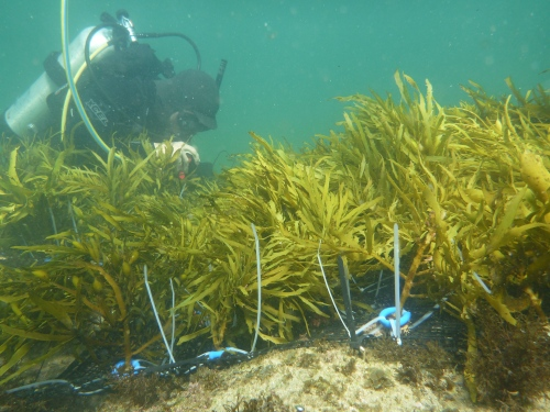 Figure 1. A 20m2 Crayweed restoration patch being set up by divers.