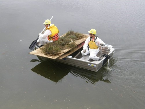 Fig 1. Translocating Beaded Glasswort via electric boat. (Photo: Dragonfly Environmental)