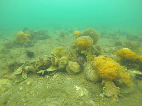Figure 1. Clumping native Flat Oysters at 9ft Bank in Port Phillip Bay