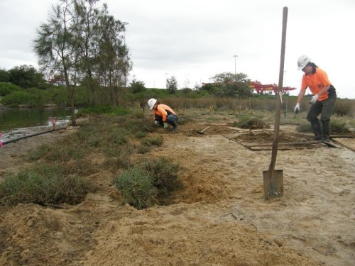 Fig 2. Transplanting clumps of Beaded Glasswort and Salt Couch into areas where Spiny Rush had been removed. (Photo: Dragonfly Environmental)