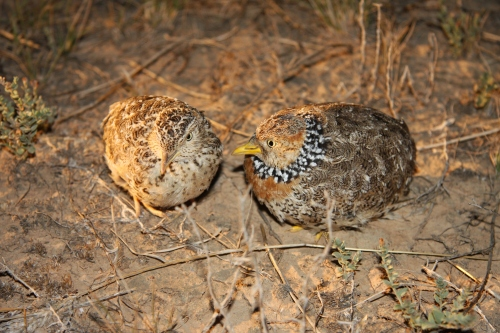 Fig 2. The area, particularly the Patho Plains and Lower Avoca, provide important habitat for the persistence of the Plains-wanderer (Photo David Baker-Gabb).
