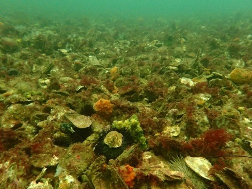 Figure 2. Remnant Oyster Reef in Georges Bay, St Helens, Tasmania. (Photo: Chris Gillies)