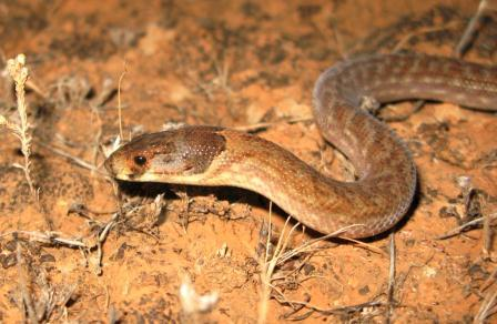Fig 3. Hooded Scaly-foot adult by Geoff BrownCOMP