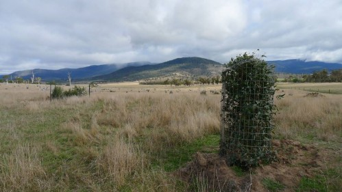 Grassy woodland restoration at 'Connorville'. Caged trees & shrubs planted August 2014 – photo May 2015