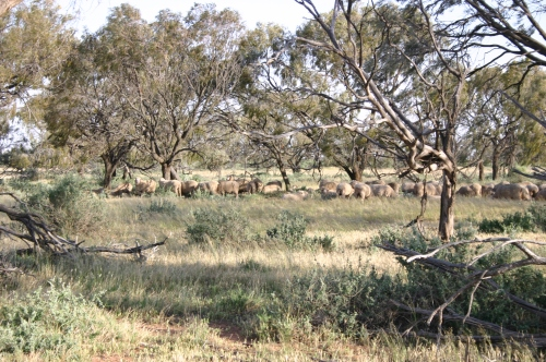 Figure 1. Boree (Acacia pendula) and Thorny Saltbush (Rhagodia spinescens) in grazed paddocks at the Driver's 5000 ha sheep property, Barabool, in the western Riverina. (Photo M. Driver).