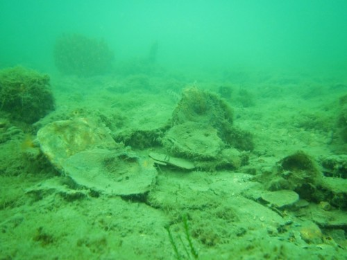 Figure 4. Relictual evidence of previous oyster reef at Wilson Spit restoration site. (Photo: Paul Hamer).