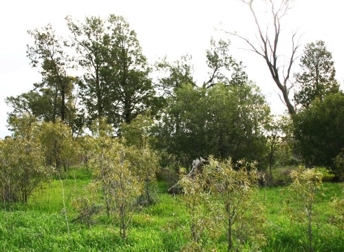 Figure 2. Mixed White Cypress Pine Woodland grazing exclosure on Barrabool with regeneration of Pine, Needlewood, Sandalwood, Rosewood, Butterbush, Native Jasmine, mixed saltbushes and shrubs. (Photo M. Driver)