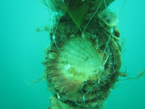 Figure 5. Cultch spat growing out at the Bates Point Aquaculture Lease. (Photo: Ben Cleveland)