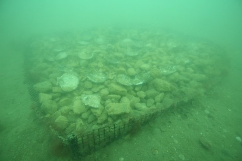 Figure 6. Limestone rubble base with cultch spat. (Photo: Paul Hamer)