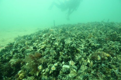 Figure 7. Deployed mussel bed at Margarets Reef. (Photo: Paul Hamer)