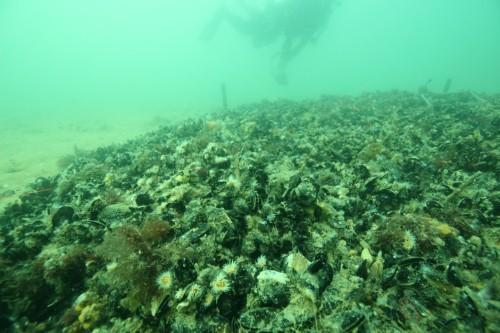 Figure 7. Deployed mussel bed at Margarets Reef. (Photo: Paul Hamer)