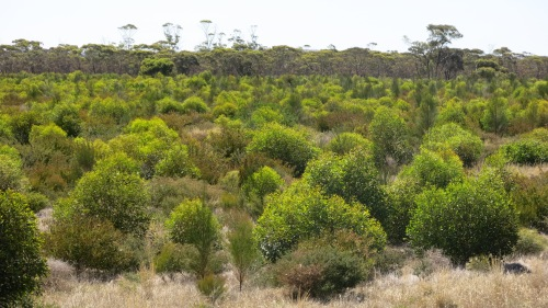Figure 9: Photo showing 3 year old establishment and growth of a Banksia media/Eucalyptus falcata Mallee shrub plant community with granitic soil influence from the 2012 Monjebup North restoration project.